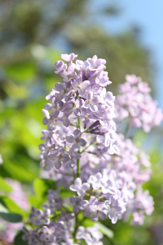 lilac_2_by_anastasiias-d4re3fe
