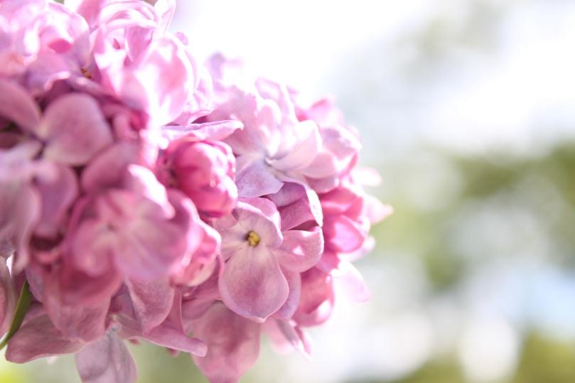 lilac_by_anastasiias-d4rcd1l